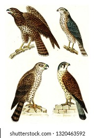Common Buzzard, Sparrowhawk, Northern goshawk, Common kestrel, vintage engraved illustration. From Deutch Birds of Europe Atlas.