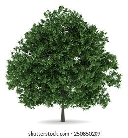 common hornbeam tree isolated on white background