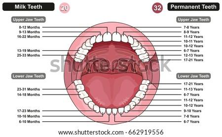 Comparison Between Milk Permanent Teeth Infographic Stock