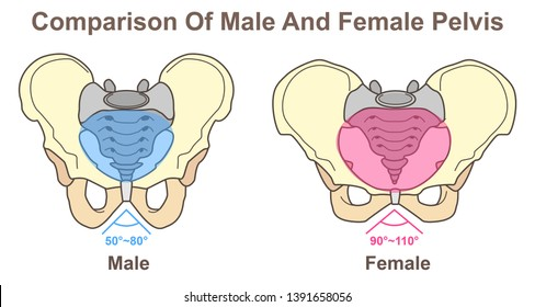 Comparison of male and female pelvis