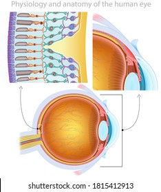 Composition of the human eye together with the detail of the cornea and the macula, where you can see the different elements that compose it.