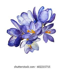 Composition watercolor purple crocus flowers