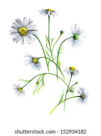 The composition of the white daisies