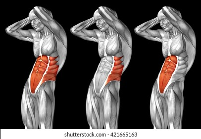 Concept 3D chest human anatomy or anatomical and muscle set collection isolated on black background metaphor to body, tendon, spine, fit, abs, strong, biological, gym, fitness, skinless health medical