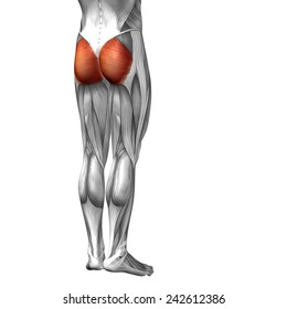 Concept 3D gluteus maximus leg human anatomy or anatomical muscle isolated on white background, metaphor to body, tendon, fit, foot, strong, biological, gym, fitness, skinless, health or medical