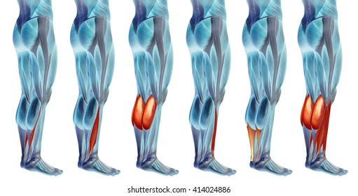 Concept 3 d human lower leg anatomy stock illustration 413563267 concept 3d human lower leg anatomy or anatomical and muscle set collection isolated on white background ccuart Image collections