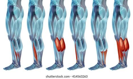 Concept 3 D Human Lower Leg Anatomy Stock Illustration 413563267 ...