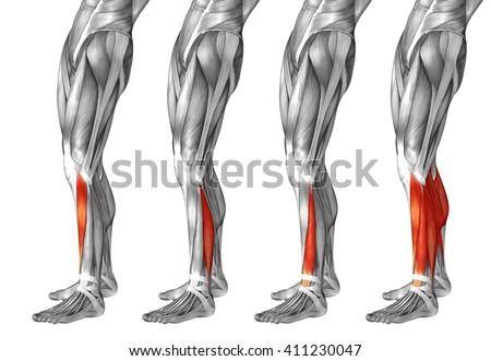 Concept 3 D Human Lower Leg Anatomy Stock Illustration 411230047 ...