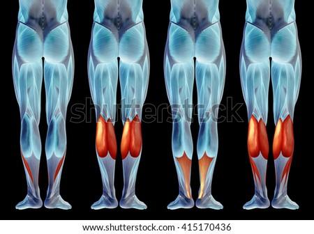 Concept 3 D Human Lower Leg Anatomy Stock Illustration 415170436 ...