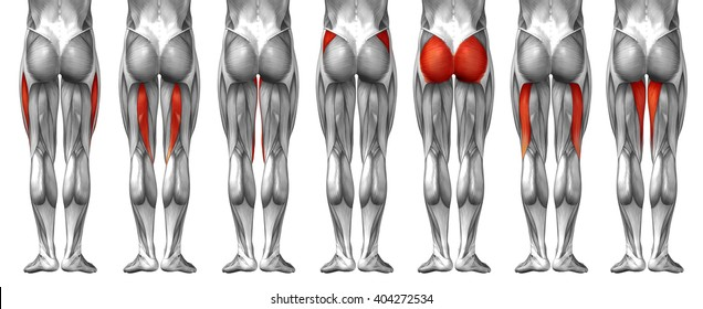 Concept 3D human upper leg anatomy anatomical and muscle set or collection isolated on white background metaphor to body, tendon, fit, foot, strong, biological, gym, fitness, skinless, health medical
