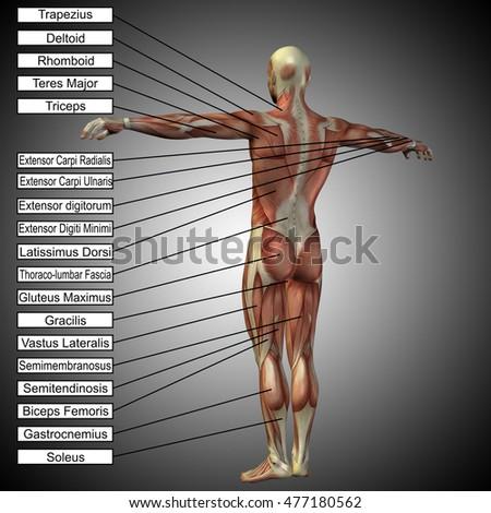 Concept 3 D Illustration Male Human Anatomy Stock Illustration ...