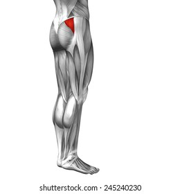 Concept conceptual 3D back upper leg human anatomy or anatomical muscle isolated on white background, metaphor to body, tendon, fit, foot, strong, biological, gym, fitness, skinless, health or medical