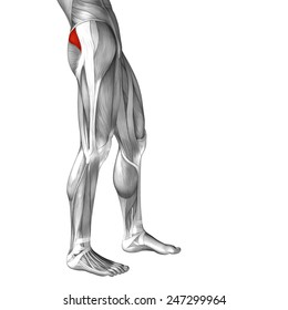 Concept conceptual 3D gluteus medius and minimus, anatomical muscle isolated on white background, metaphor to body, tendon, fit, foot, strong, biological, gym, fitness, skinless, health or medical