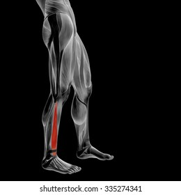 Concept or conceptual 3D human lower leg anatomy or anatomical and muscle isolated on black background metaphor to body, tendon, fit, foot, strong, biological, gym, fitness, skinless, health medical