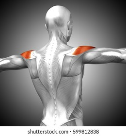 Concept or conceptual 3D illustration back human anatomy or anatomical and muscle on gray background metaphor to body, tendon, spine, fit, abs, strong, biological, gym, fitness, health medical