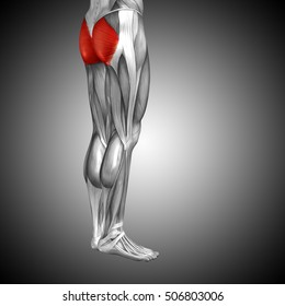 Concept or conceptual 3D illustration human upper leg anatomy or anatomical and muscle on gray background metaphor to body, tendon, fit, foot, strong, biological, gym, fitness health medical