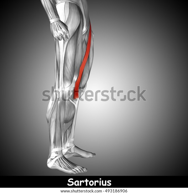 Concept or conceptual 3D illustration human upper leg anatomy or anatomical and muscle on gray background metaphor to body, tendon, fit, foot, strong, biological, gym, fitness, health medical