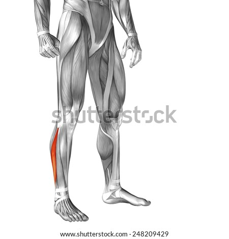 Concept Conceptual 3 D Peroneus Fibularis Longus Stock Illustration ...