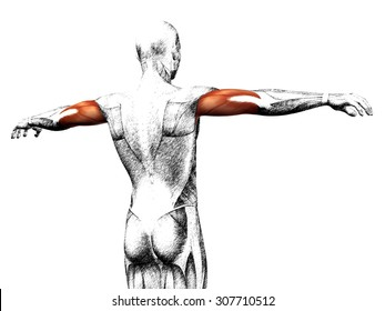 Concept conceptual 3D triceps human anatomy or anatomical muscle sketch isolated on white background metaphor to body, tendon, spine, fit, abs, strong, biological, gym, fitness skinless health medical