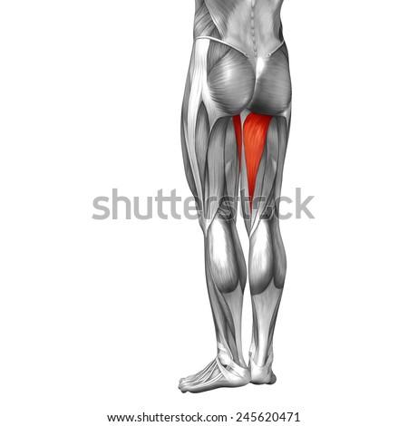 Conceptual 3 D Adductor Magnus Leg Human Stock Illustration ...