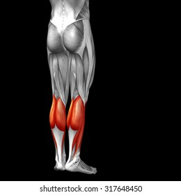Conceptual 3D gastrocnemius human lower leg anatomy or anatomical muscle isolated on black background metaphor to body, tendon, fit, foot, strong, biological, gym, fitness, skinless, health medical