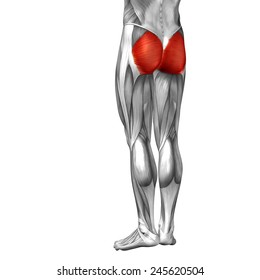 Conceptual 3D gluteus maximus leg human anatomy or anatomical muscle isolated on white background, metaphor to body, tendon, fit, foot, strong, biological, gym, fitness, skinless, health or medical