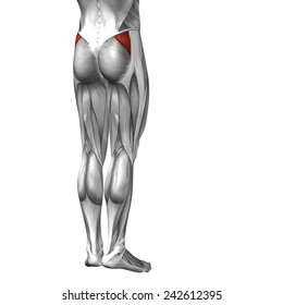 Conceptual 3D gluteus medius  human anatomy or anatomical muscle isolated on white background, metaphor to body, tendon, fit, foot, strong, biological, gym, fitness, skinless, health or medical