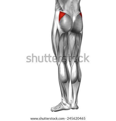 Conceptual 3 D Gluteus Medius Minimus Anatomical Stock Illustration