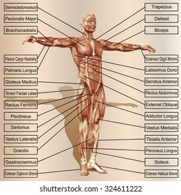 conceptual 3d male human anatomy 260nw 324611222 royalty free stock illustration of conceptual 3 d male human anatomy