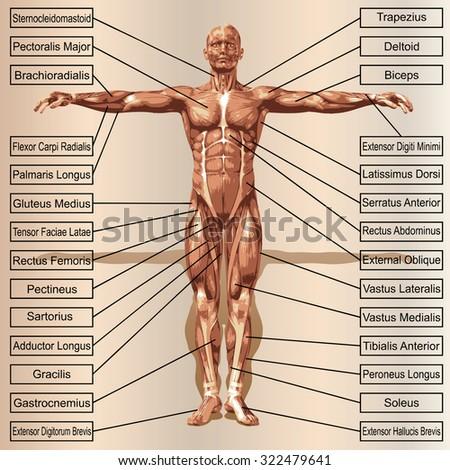 Conceptual 3 D Male Human Anatomy Man Stock Illustration 322479641