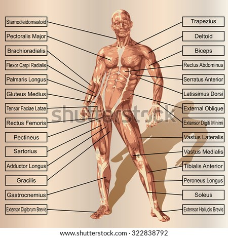 Conceptual 3 D Male Human Anatomy Man Stock Illustration 322838792