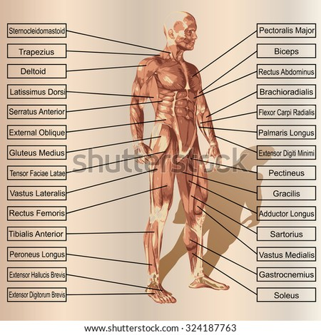 Conceptual 3 D Male Human Anatomy Man Stock Illustration 324187763