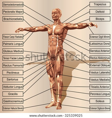 Conceptual 3 D Male Human Anatomy Man Stock Illustration 325339025