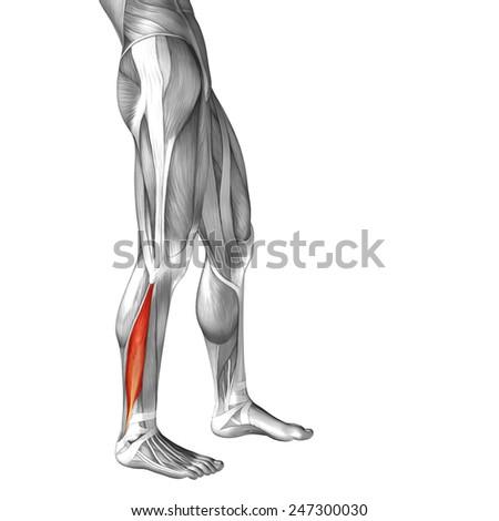 Conceptual 3 D Peroneus Fibularis Longus Anatomical Stock ...