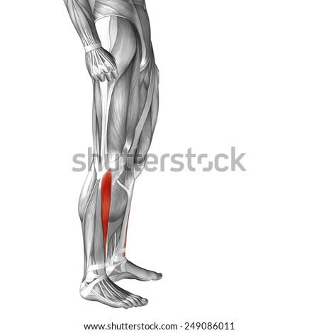 Conceptual 3 D Tibialis Anterior Human Leg Stock Illustration
