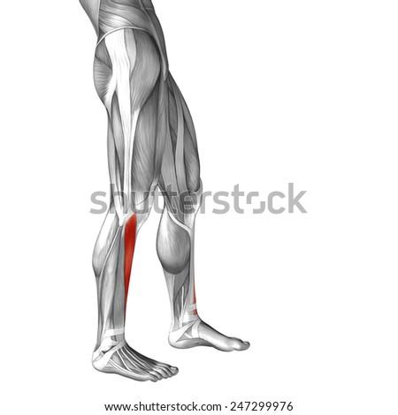 Conceptual 3 D Tibialis Anterior Leg Human Stock Illustration
