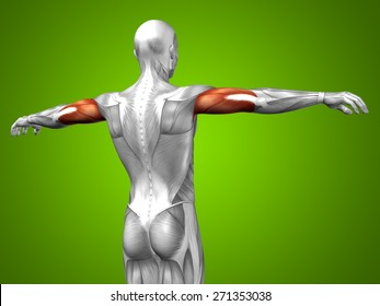 Conceptual 3D triceps human anatomy or anatomical and muscle on green gradient background metaphor to body, tendon, spine, fit, abs, strong, biological, gym, fitness, skinless, health medical