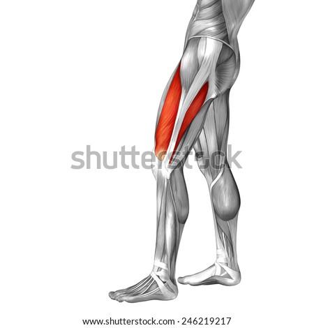 Conceptual 3 D Vastus Lateralis Leg Human Stockillustration ...
