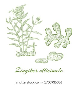 Contour Bush of Ginger and its Roots. Hand Drawn Bush of Blossoming Ginger and its Roots on White Background. Herbal with Latin Name Zingiber officinale. Herbal Medicine and Food Industry Component.