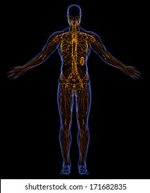 The contours of the human skin and Human lymphatic system