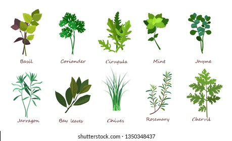 Cooking herbs illustration set. Basil, coriander, mint. Food concept. Can be used for topics like meal, plant, gourmet
