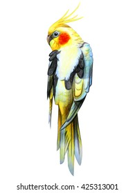 Corella parrot drawing (Nymphicus hollandicus)