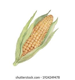 Corn cob grain leaves. hand-drawn watercolor illustration. Print textile matern  vintage retro sketch. Agriculture farm harvest
