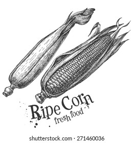 corn, maize on a white background. sketch