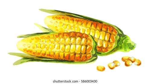 Corn on the cob. Watercolor