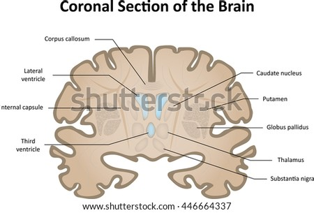 Coronal Lungs Diagram - Custom Wiring Diagram •