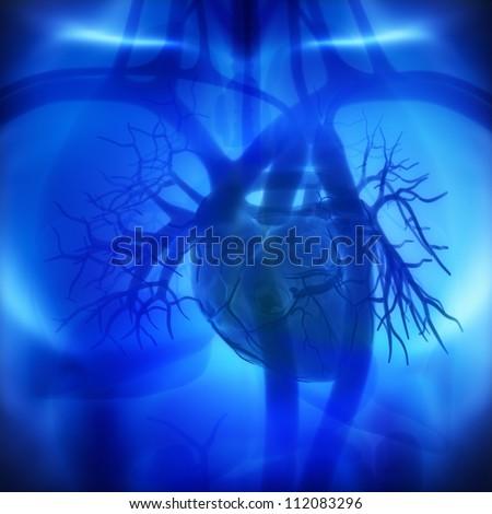 Coronary Arteries Auricles Ventricles Human Heart Stock Illustration ...