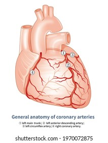 Coronary artery is the artery system which supplies the heart, which originates from the coronary sinus of the root of the aorta, which is mainly divided into the left and the right coronary artery.
