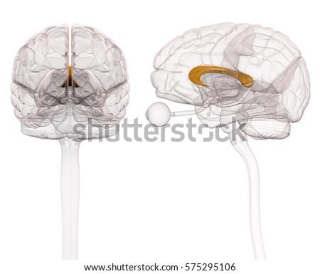 Corpus Callosum Brain Anatomy 3 D Illustration Stock Illustration