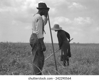 Cotton sharecroppers weeding their small cotton crop in Greene County Georgia. July 1937 photo by Dorothea Lange.